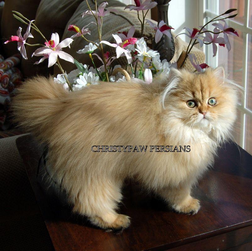 Reputable Missouri Persian cat breeder CHRISTYPAW