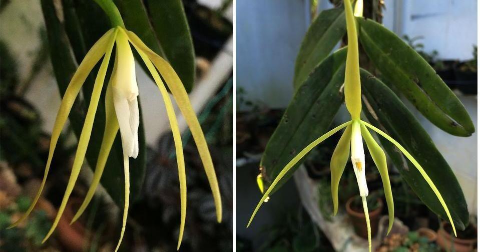La Orquídea Que Llenará De Aroma Exquisito Nuestros Jardines