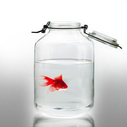 Goldfish in a mason jar