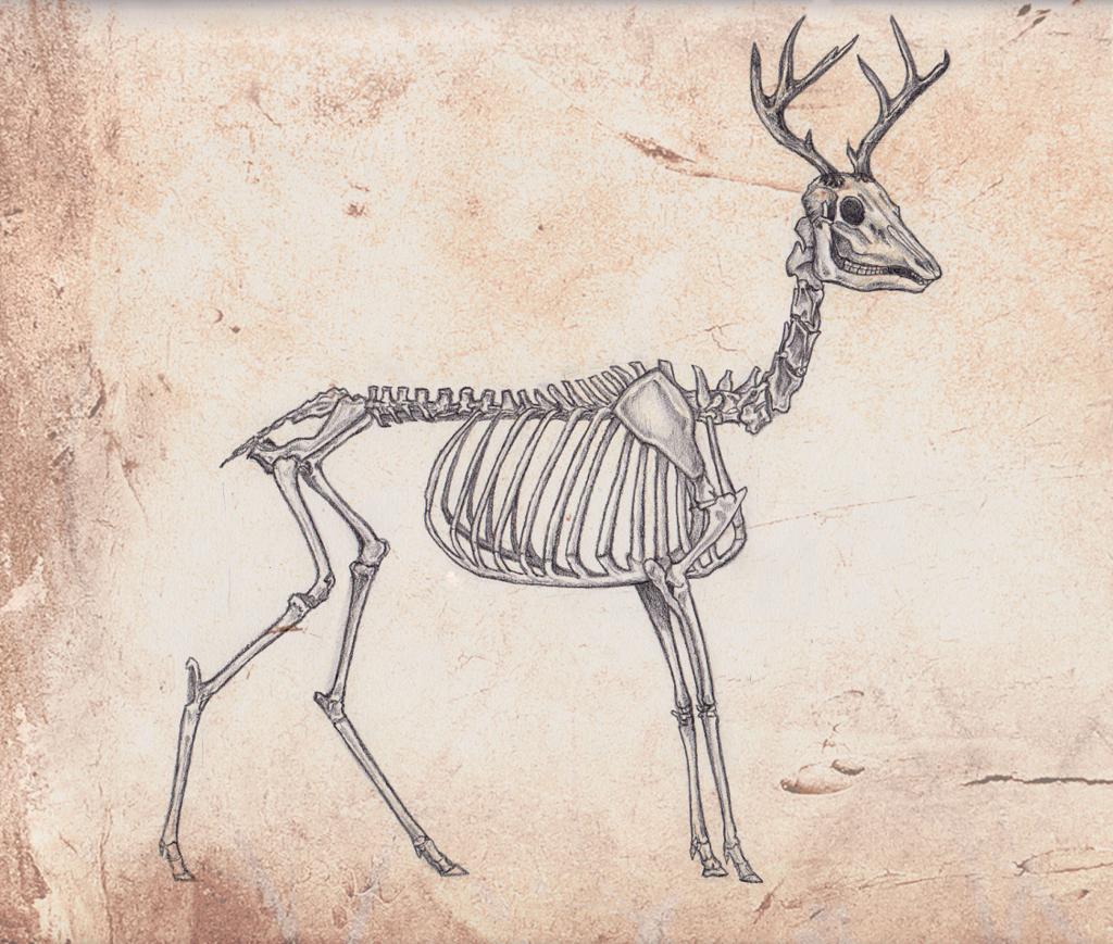 skeleton deer - Google Search   Sketchbook Material   Pinterest ...