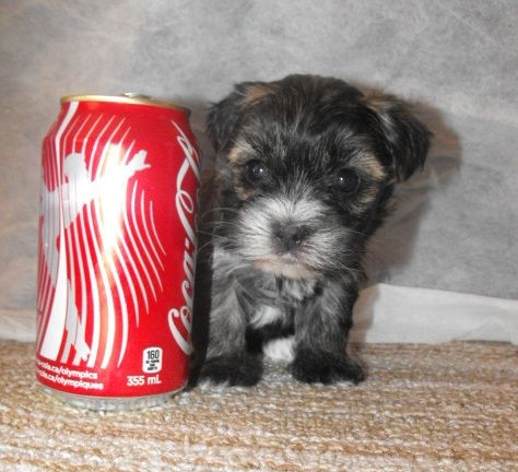 Morkie Puppies For Sale Stouffville Ontario Canada 905 640
