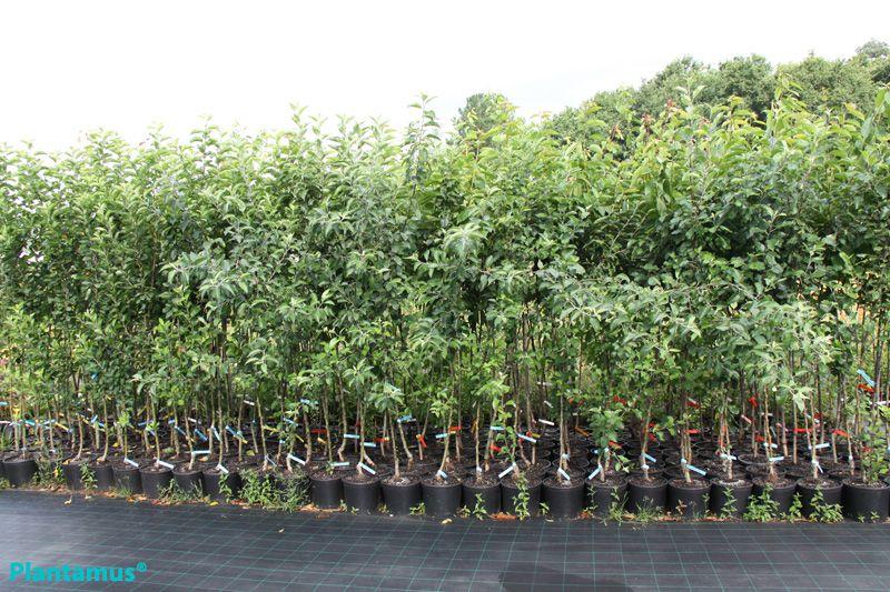 Frutales en maceta, aptos para ser plantados en cualquier época del año. http://www.plantamus.es/comprar-frutales