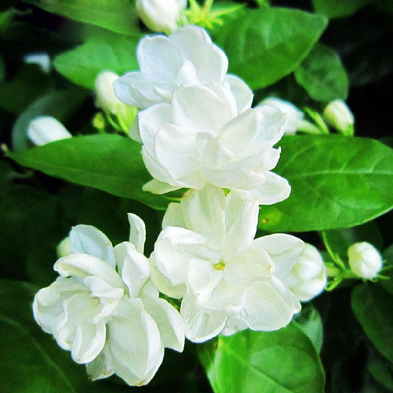 Awesome Bela Flowers Name In English And Pics In 2020 White Jasmine Flower Jasmine Plant Fragrant Plant