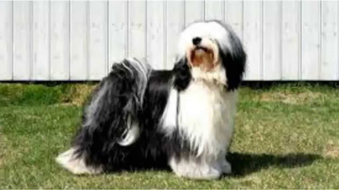 Top 10 Amazing Facts About Tibetan Terriers Tibetan Terrier Terrier Puppies Tibetan Dog