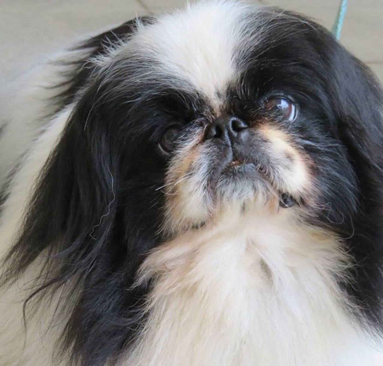 Pin by Pat Flynn on ♥ I Love Pekingese ♥ Pekingese