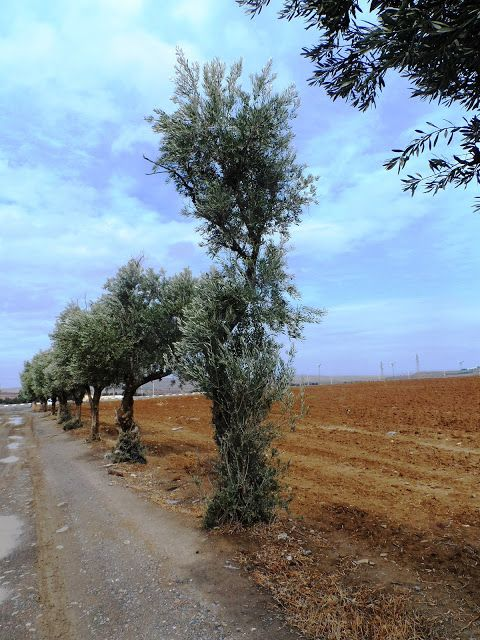 أشجار زيتون Country Roads Plants Tree