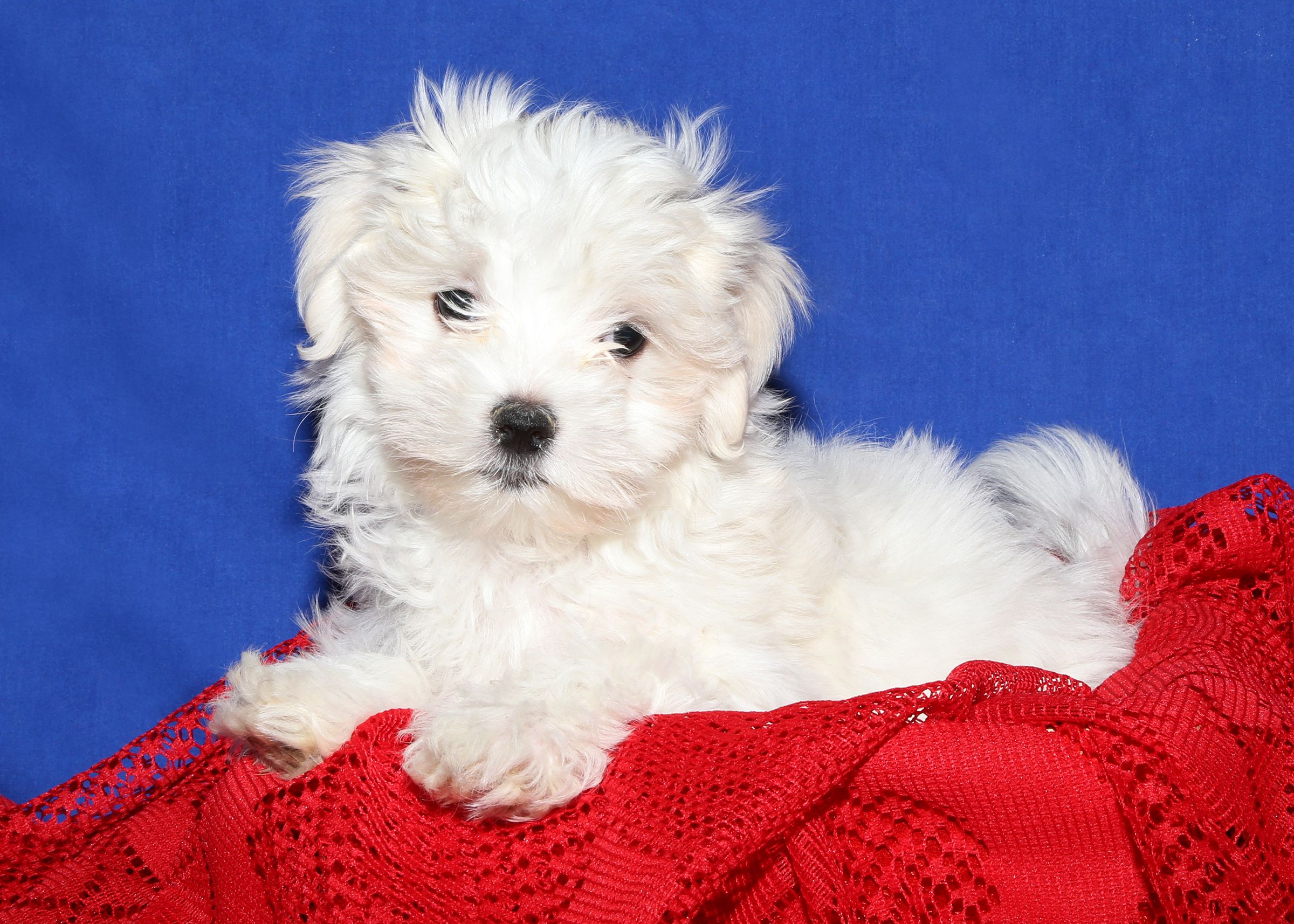 Maltese Puppy For Sale On Long Island At Puppy Love In Franklin