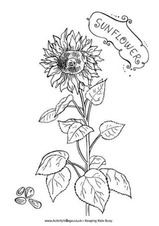 Sunflower Colouring Page   coloring pages   Pinterest   Sunflowers ...