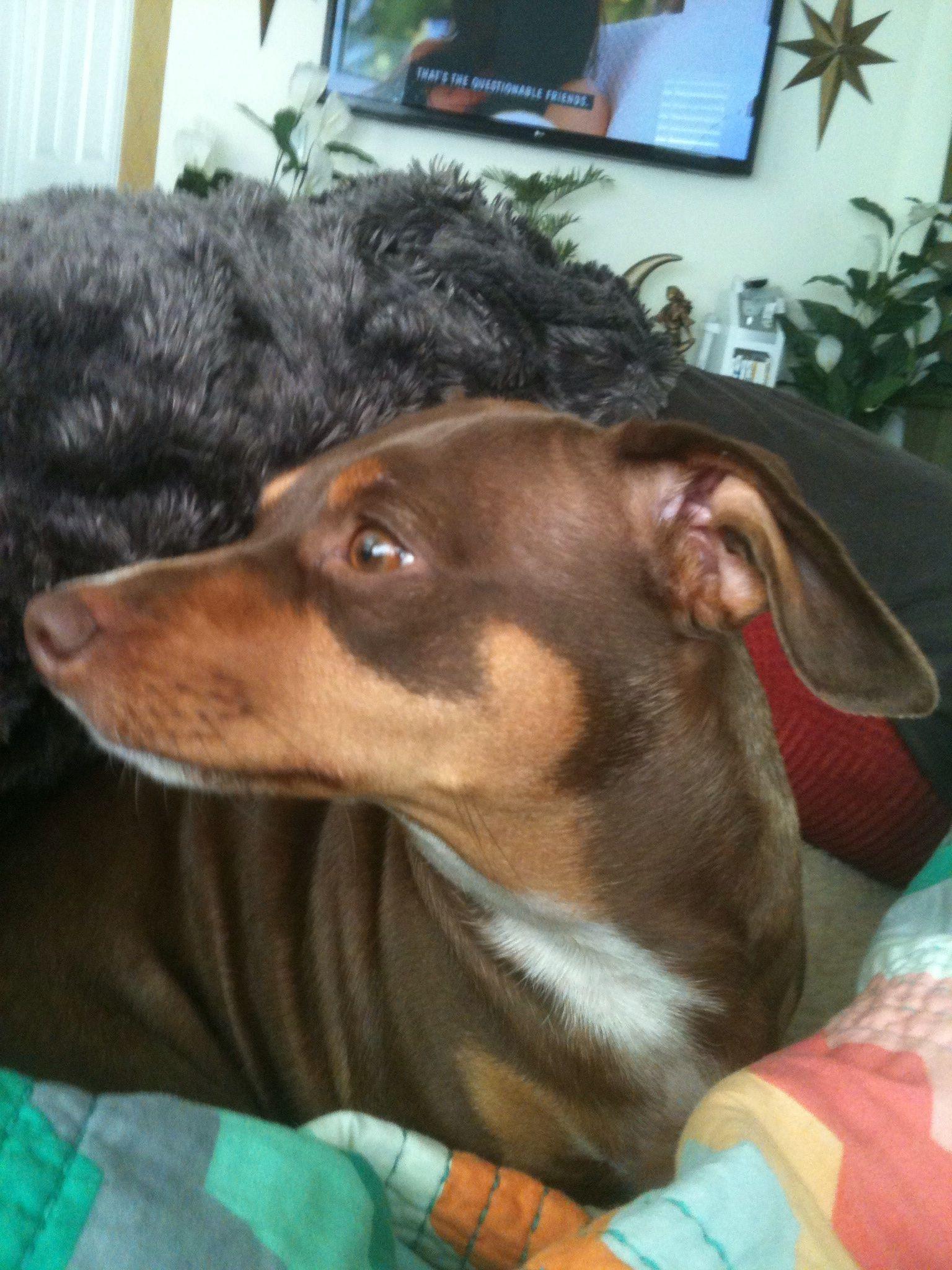 My dog Harley Whom I Love More Than I Do Myself...She's A Chiweenie!