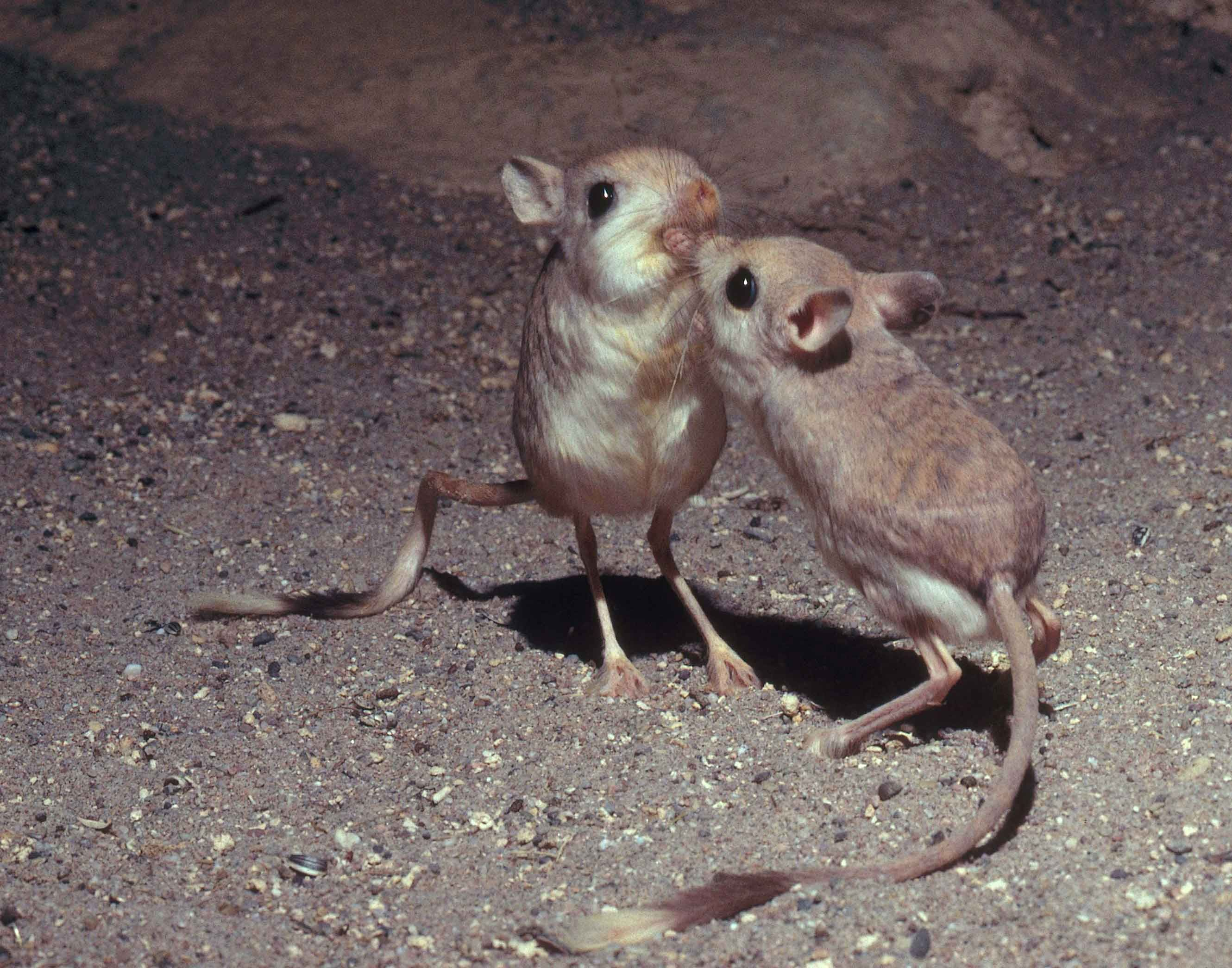 desert jerboas, native to North Africa, are fighting over