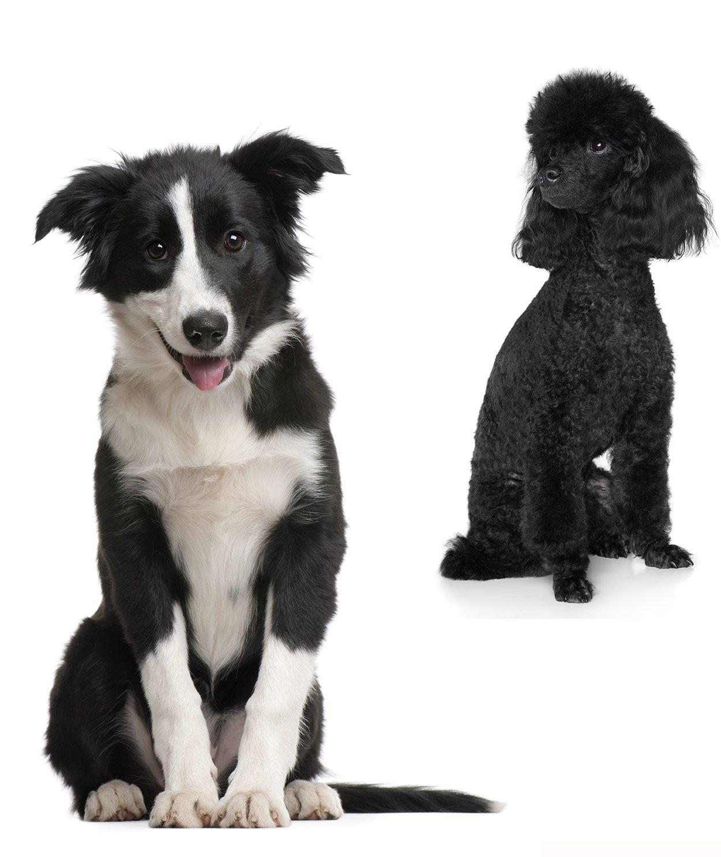 Bordoodle Meet The Amazing Border Collie Poodle Mix Bordoodle Border Collie Poodle Mix Dog Breeds