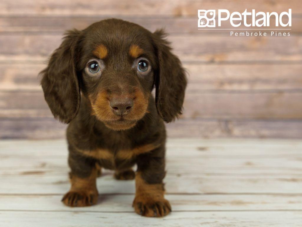 Puppies For Sale Puppies Puppies For Sale Dachshund