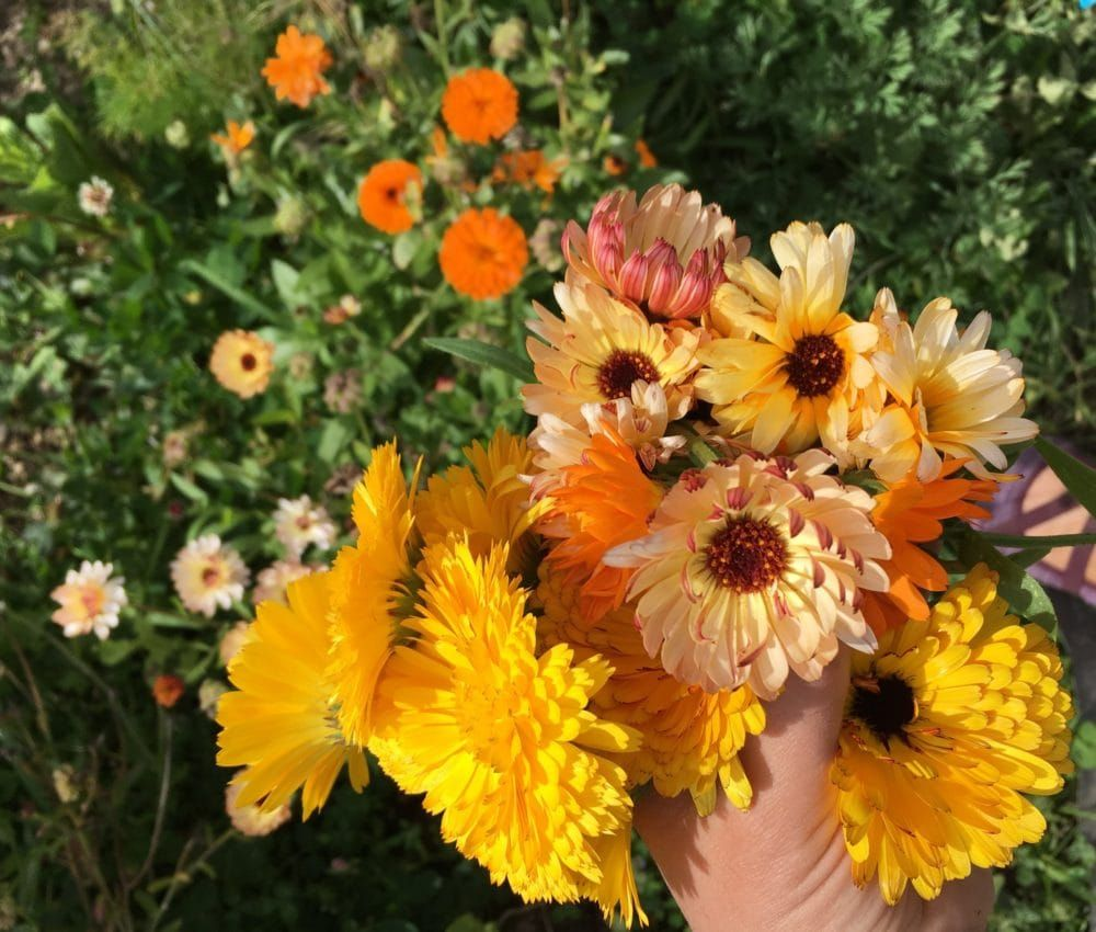 Calendula Officinalis (Pot Marigold) Growing + Benefits