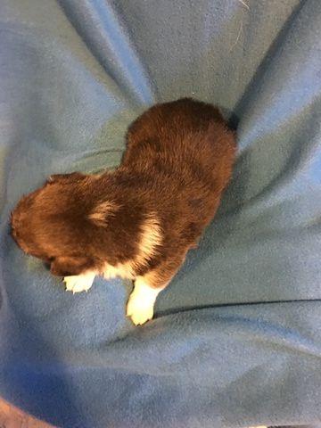 Litter Of 7 Pembroke Welsh Corgi Puppies For Sale In Bemidji Mn Adn 35113 On Puppyfinder Com Gender Male Age 6 Pembroke Welsh Corgi Puppies For Sale Corgi