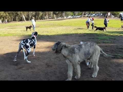 Battle Of Titans Irish Wolfhound Vs Great Dane Youtube
