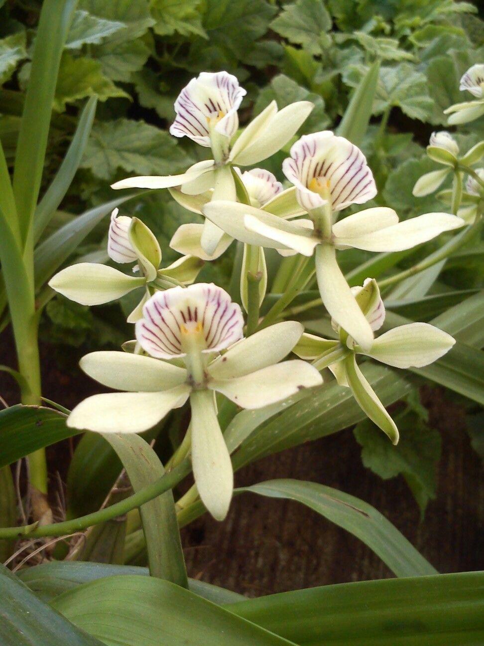 Orchids dennisharperlnf orchids pinterest