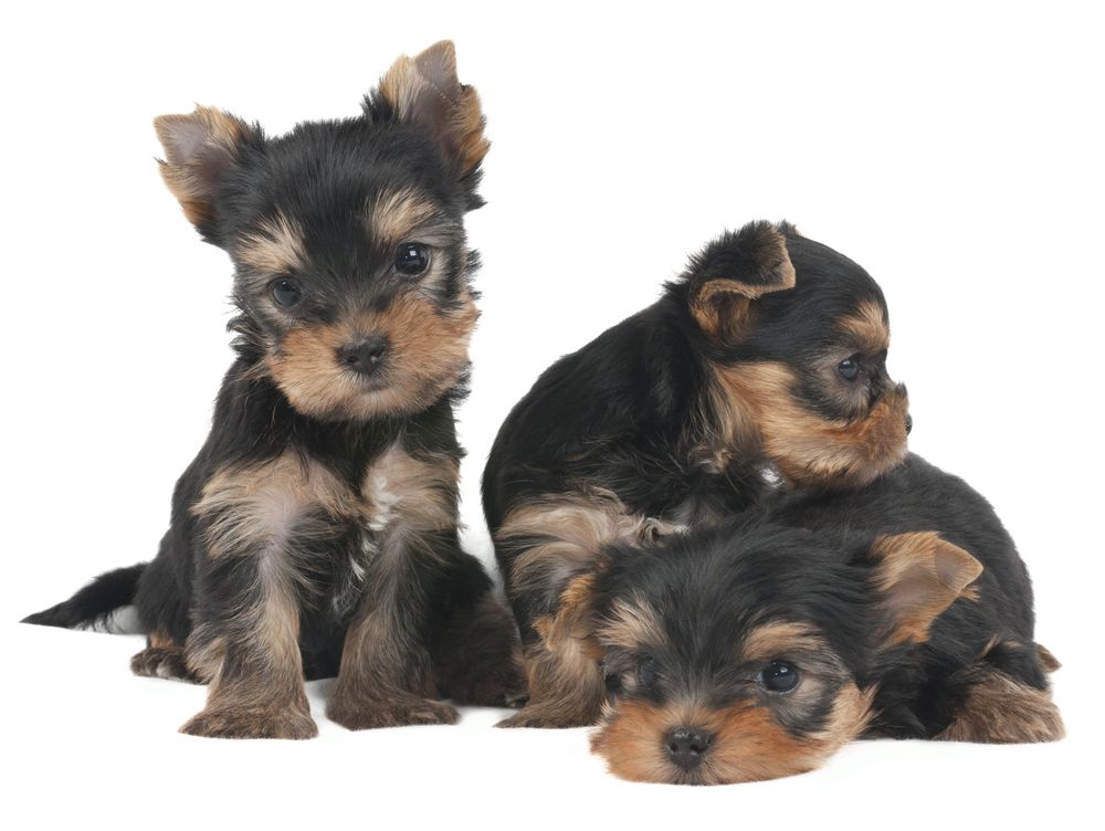 Yorkie Puppies For Sale In Oh Ideas