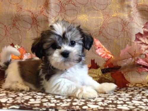 Pictures Of Teddy Bear Dogs