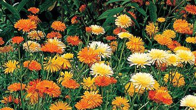 Calendula - October Flower
