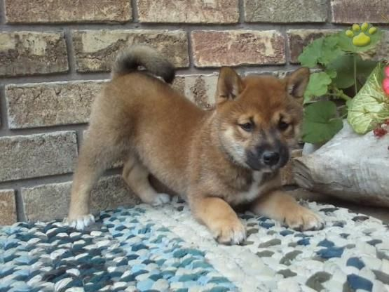 Beabull Puppy For Sale In Fredericksburg Oh Adn 55343 On