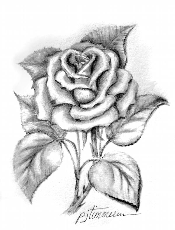 Single rose pencil drawing