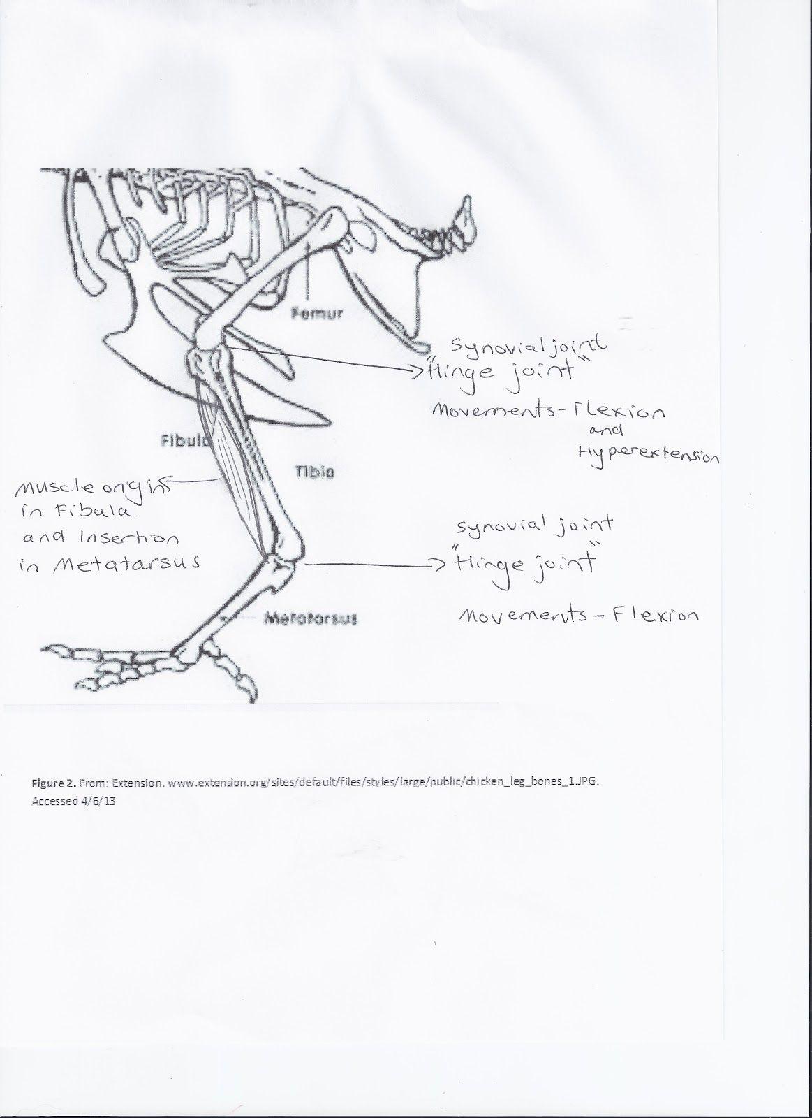 Debbie\'s blog: LAB - CHICKEN LEG DISSECTION | Human Body | Pinterest ...