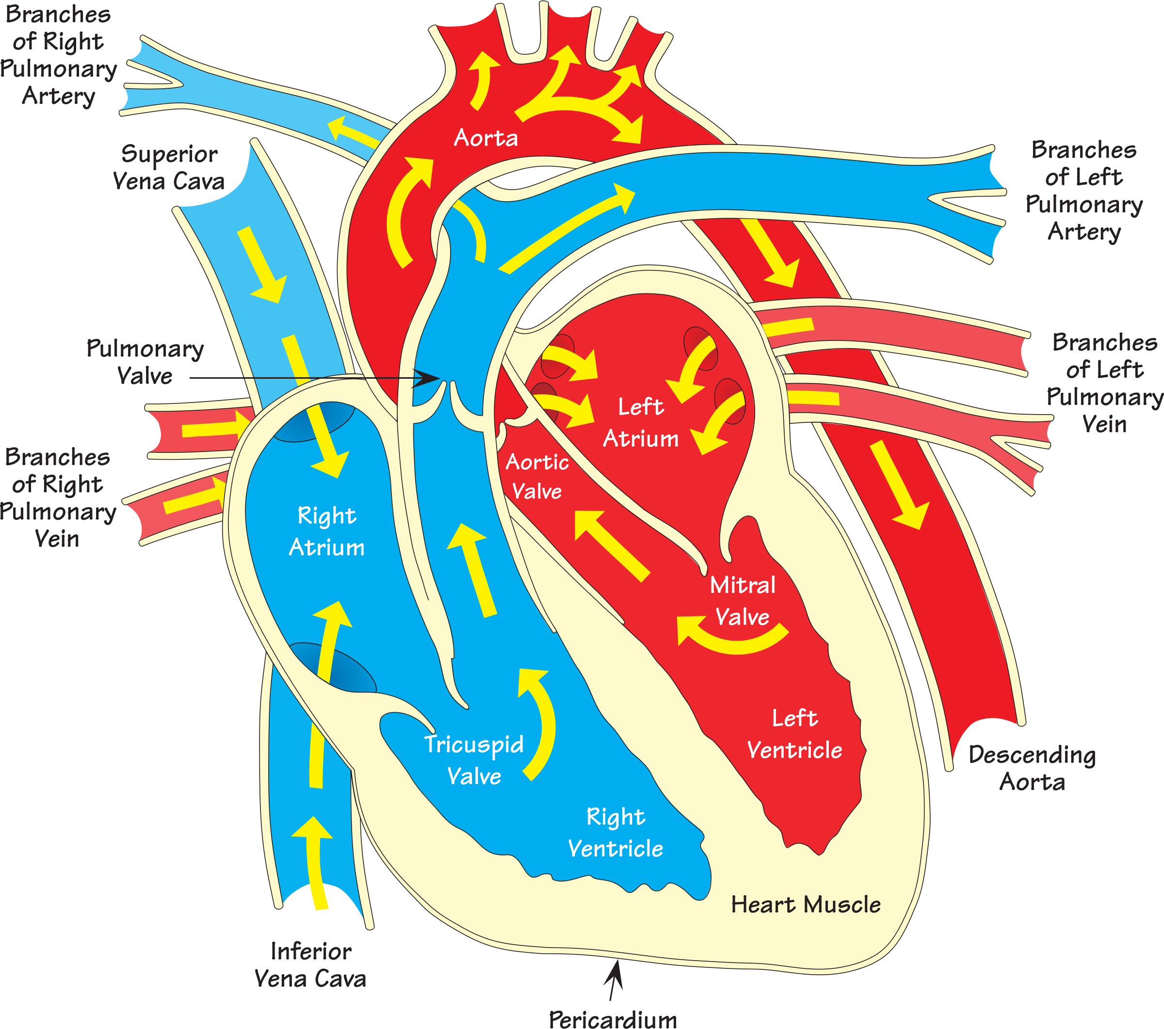 Heart diagram 2 (annotated) by Firkin | Heart muscle ...