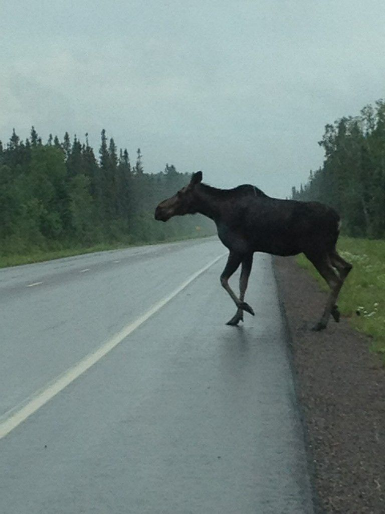 Highway 61 near Two Harbors, Minnesota ...      I had a view like this in Yellowstone Park, very scary! The moose looked like it was dancing and couldn't decide which way to go.