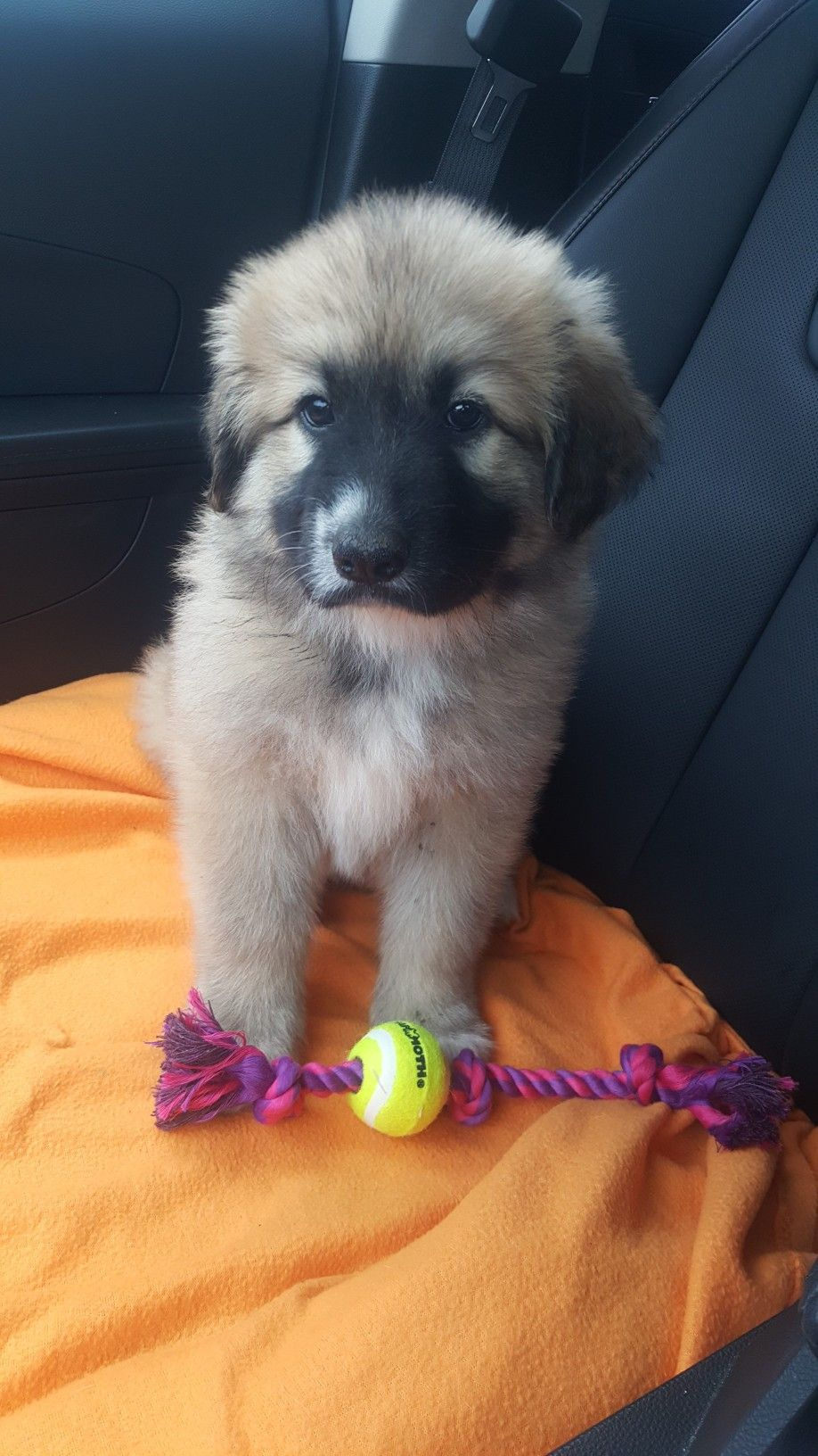 Mela Is Quite A Cutie My German Shepherd And Great Pyrenees Mix