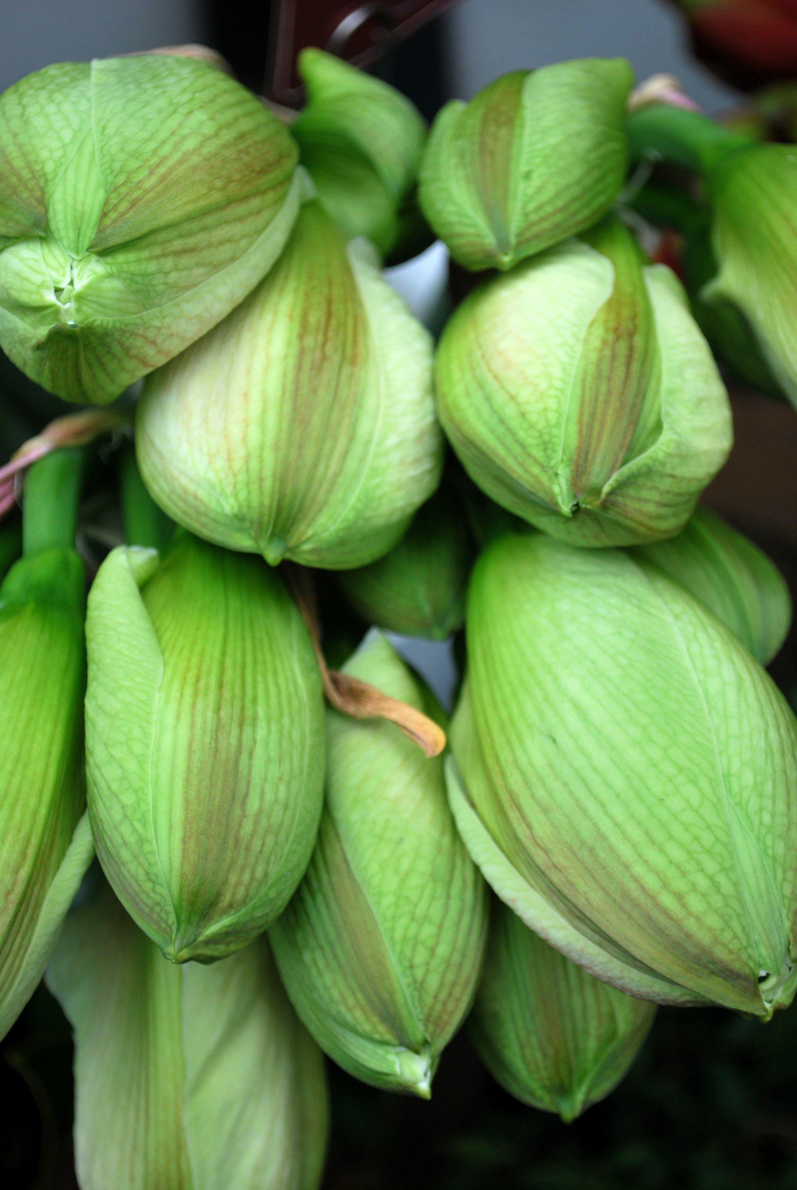 Amaryllis blooms in a farmer's market in Dusseldorf, Germany.