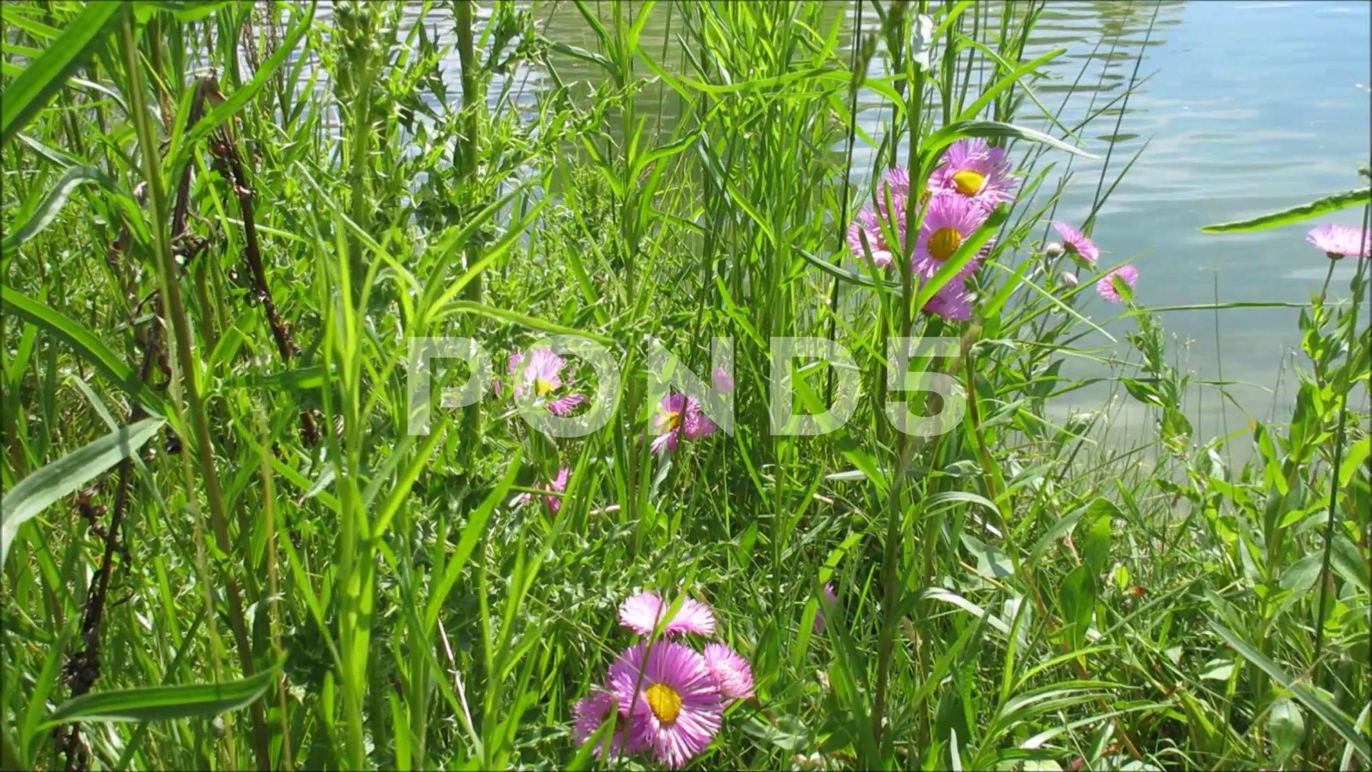 Green Plants And Pink Flowers Swaying By The Lake Beautiful Nature Stock Footage Ad Flowers Swaying Pink Green Beautiful Nature Green Plants Plants