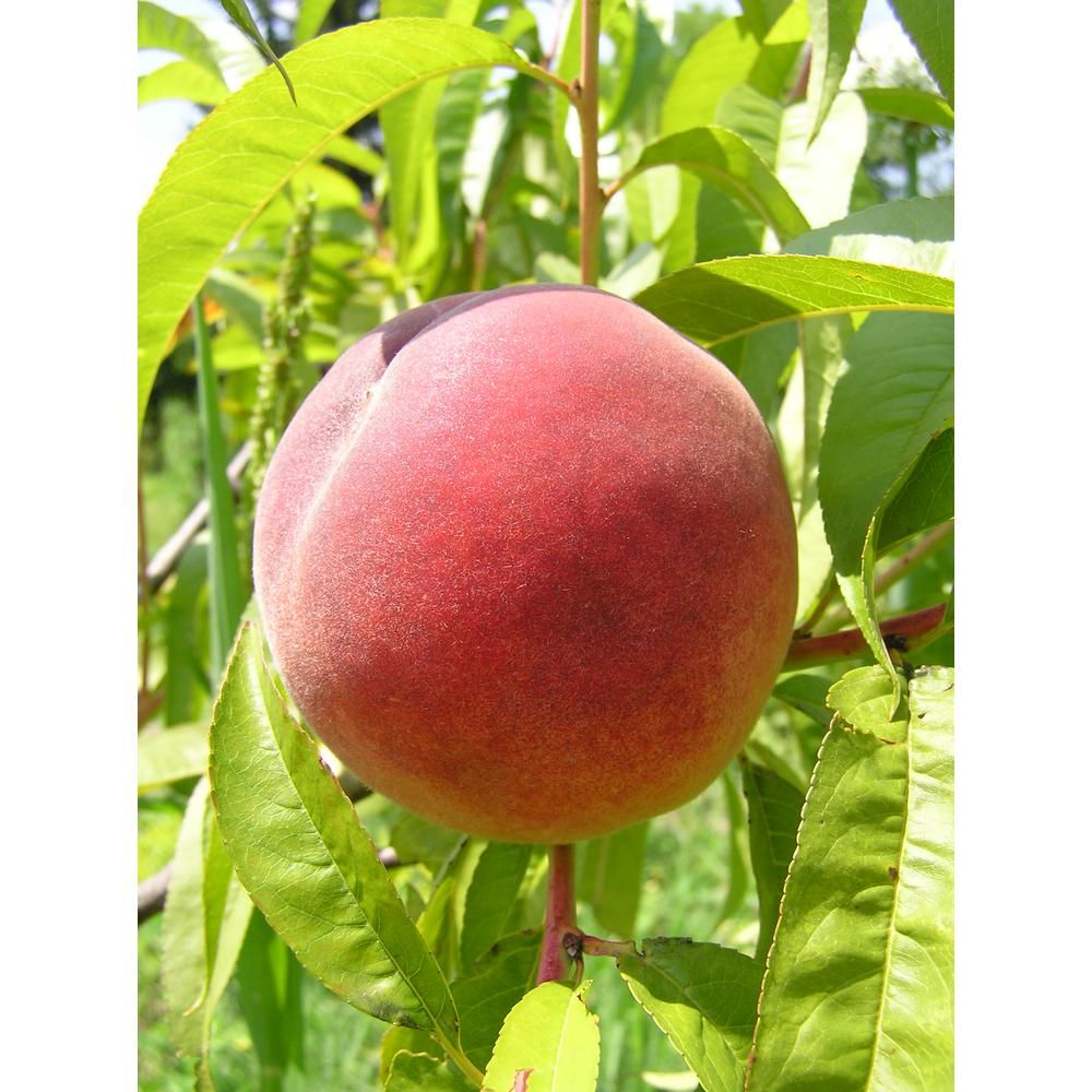 Online Orchards Dwarf Red Haven Peach Tree Bare Root Ftpe001 In 2020 Peach Trees Red Haven Dwarf Fruit Trees