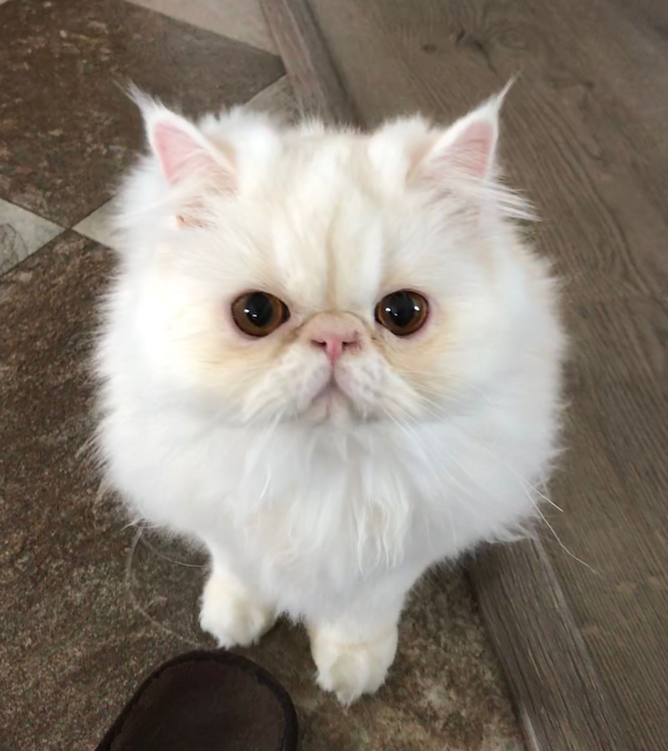 Pin By Kristel On Animals Persian Kittens Kittens Cat Breeds