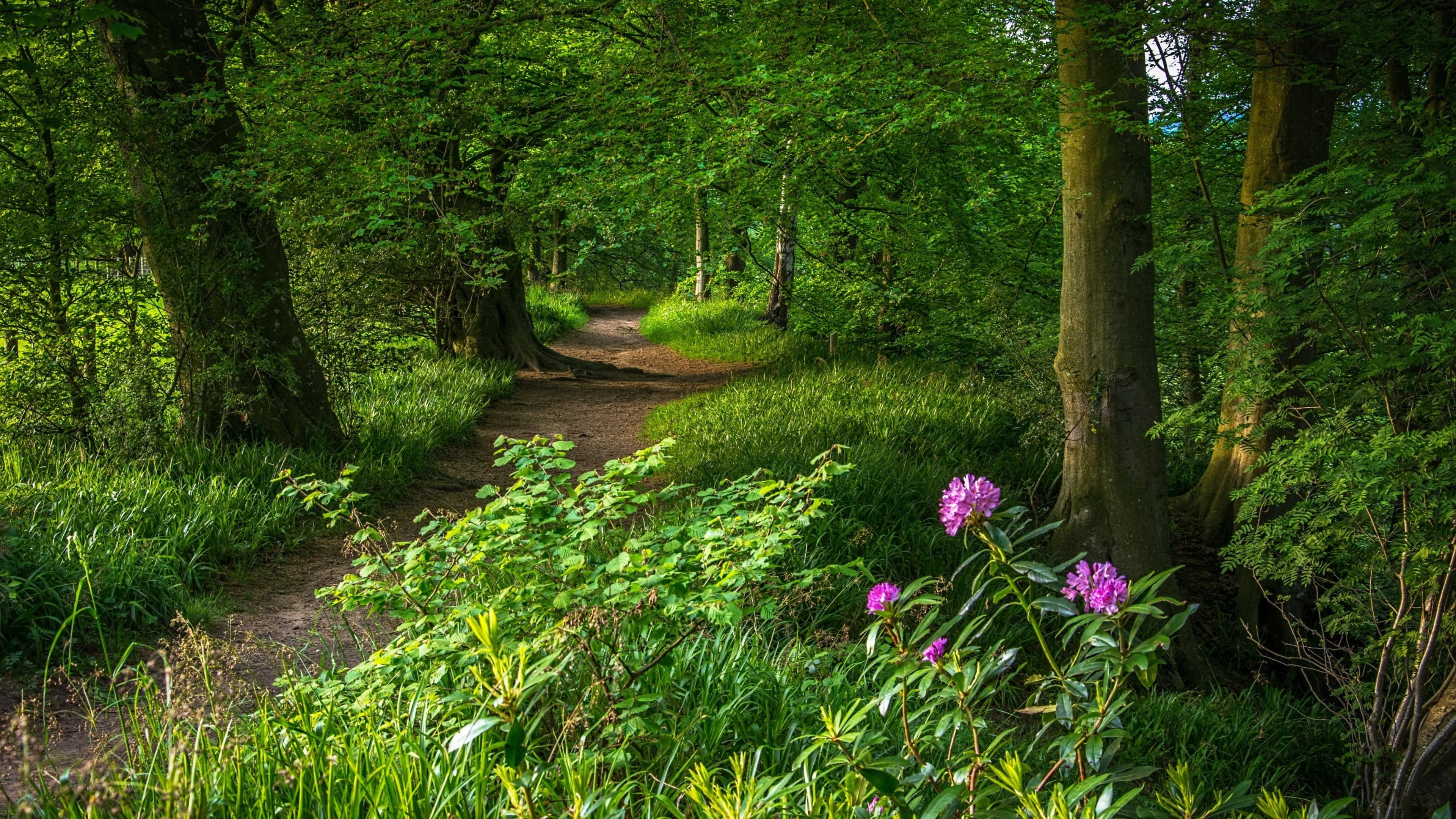 Path Forest Path Green Forest Green Leaves Pathway Nature Woodland Purple Flower Flower Grass Plant Tree Forest Path Pink Flowering Trees Green Leaves Nature path forest trees grass bushes
