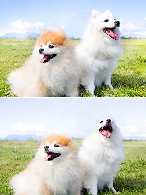 Adorable Pet Photography Pomeranian American Eskimo Pomeranian