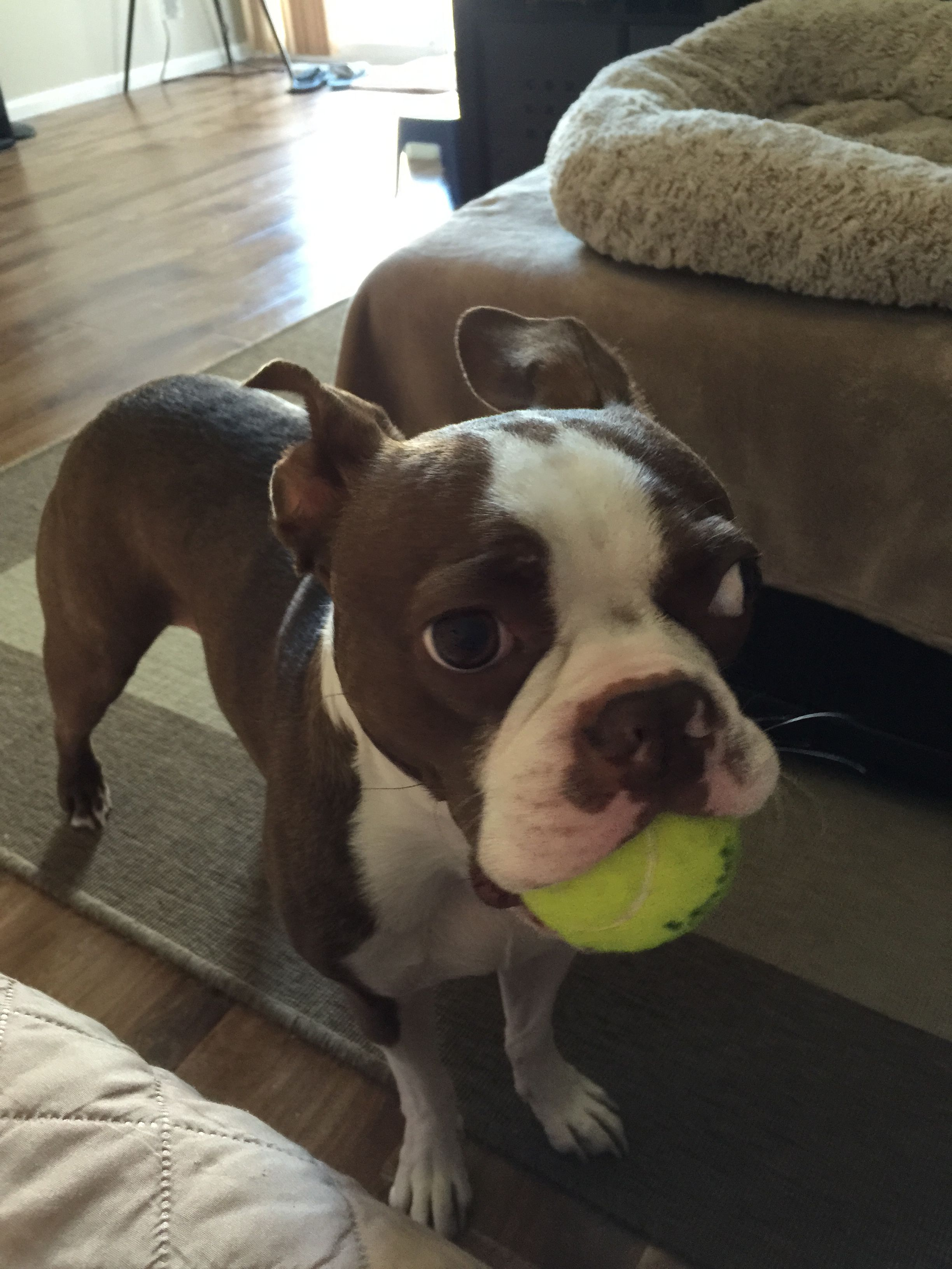 Pin By Aj Bustamante On It S All About Family Boston Terrier