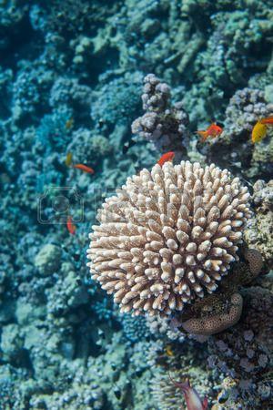 Unterwasser-Nahaufnahme von Korallen. Rote Meer Korallenriff. Umgeben mit Meer goldie Fische