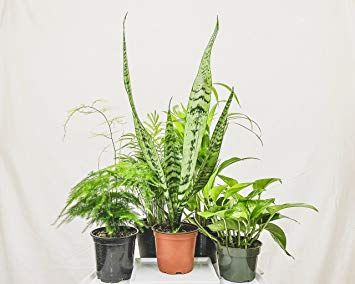 Amazon Com Collection Of Five Fantastic Clean Air Plants
