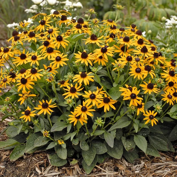 R Rudbeckia Little Goldstar Black Eyed Susan Preannual Flowers Flower Seeds
