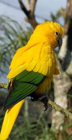 Golden Conure Amazon, Brazil` .¸¸. Birds, Beautiful