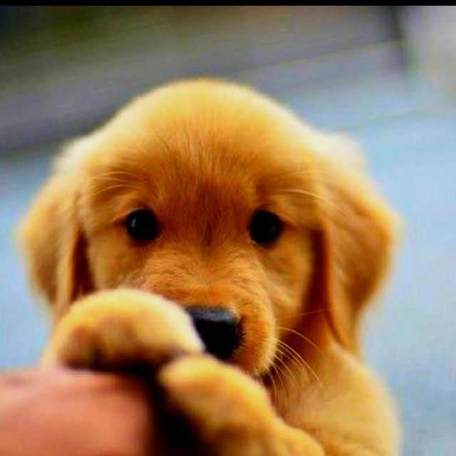 Yellow Lab Puppy I Would Give Him Everything He Wanted With