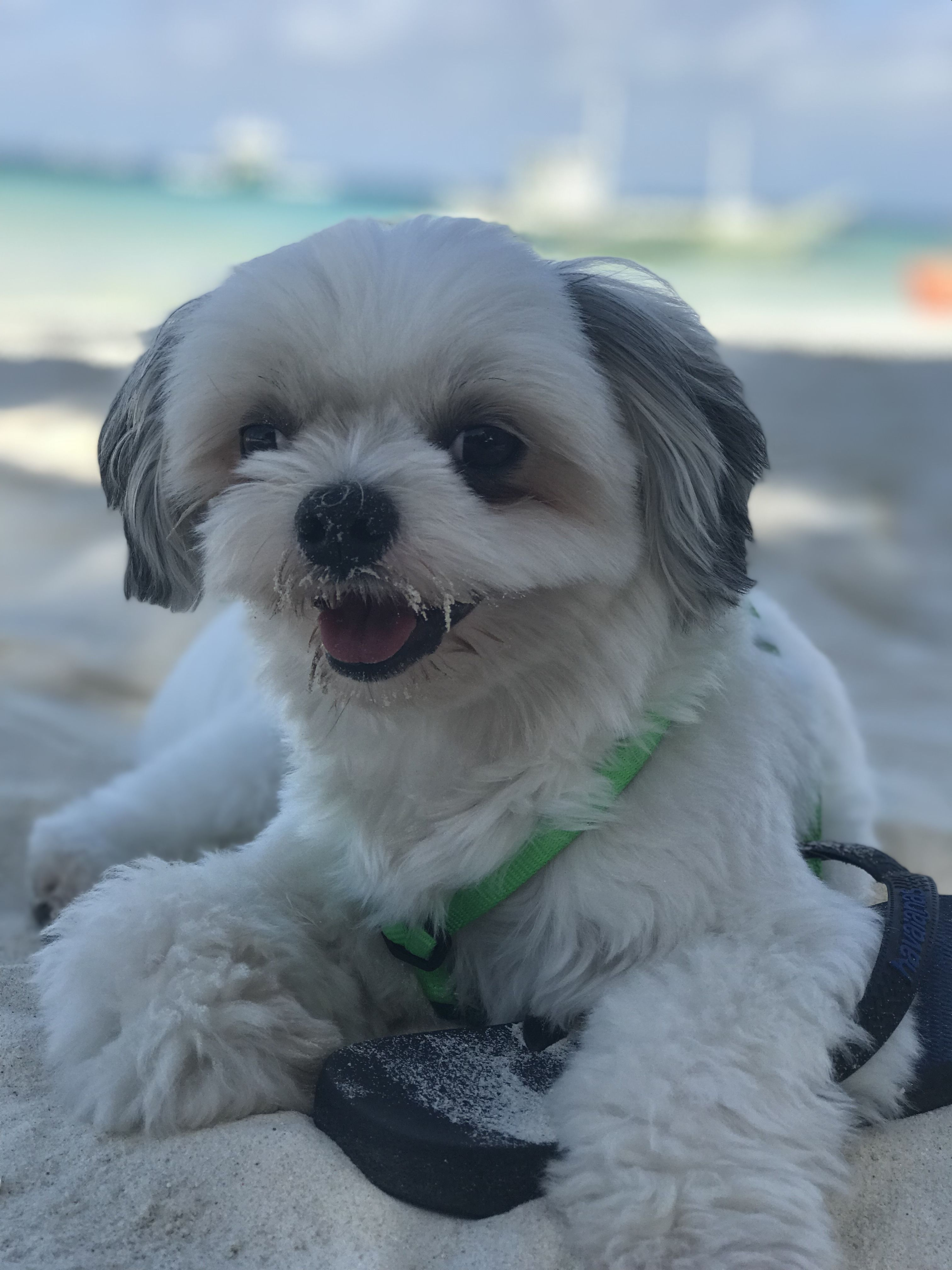 Shih Tzu Shih Tzu Dogs Puppies Dogs