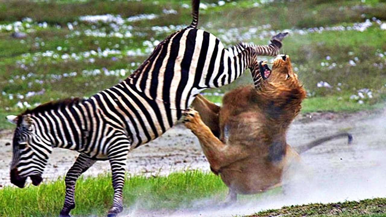 132 Increible Pelea Entre Leon Vs Cebra Fotos De Leones Fotografía Animal Animales Feroces