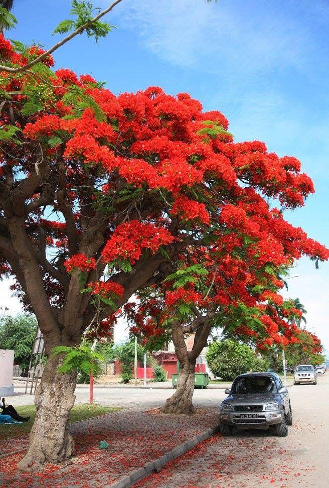 3f3b5aaae Acacias rubras, benguela Árvores E Arbustos, Planejamento Urbano, Árvores  Floridas, Natureza Incrível
