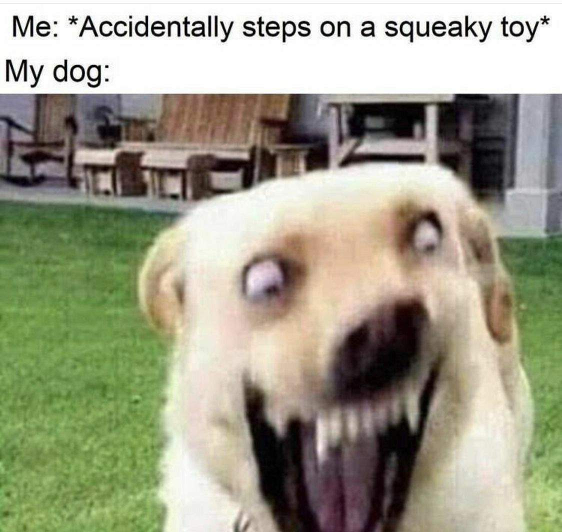 Me accidentally steps on a squeaky toy funny doggo