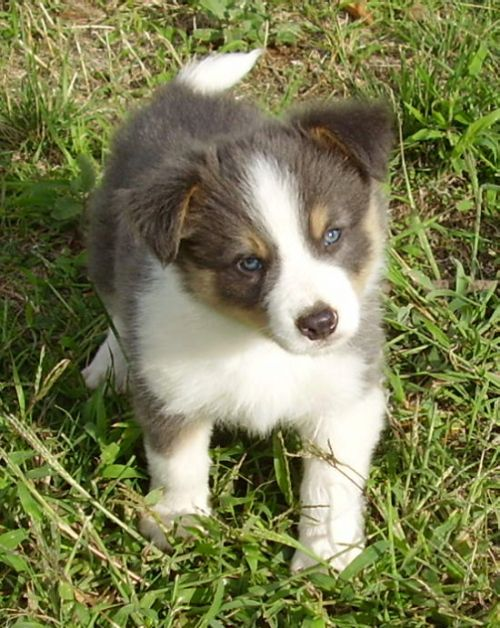 Cooper Blue White Tan Pt Photo By Visions Border Collies