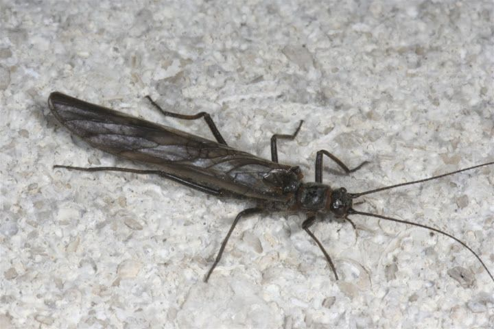 Little Black Stonefly Adult