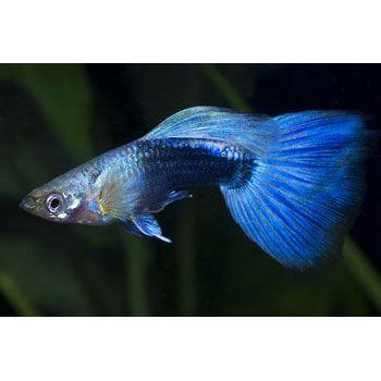Blue Neon Guppy Freshwater Community Fish Omnivore Diet Up To