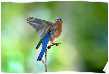 Magnificent male Eastern Bluebird, courtesy of: http://www.redbubble.com/people/miracles/works/2962205-with-wing-outspread