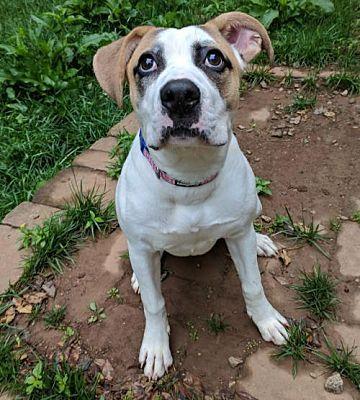 Dallas, GA American Bulldog. Meet Maybelline a Dog for
